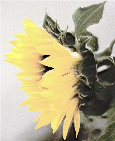 Softsunflower